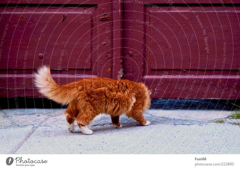 Gibt´s hier Lasagne? Tor Haustier Katze 1 Tier Beton Holz beobachten Bewegung listig Neugier grau rot einzigartig Leben Farbfoto Außenaufnahme Menschenleer