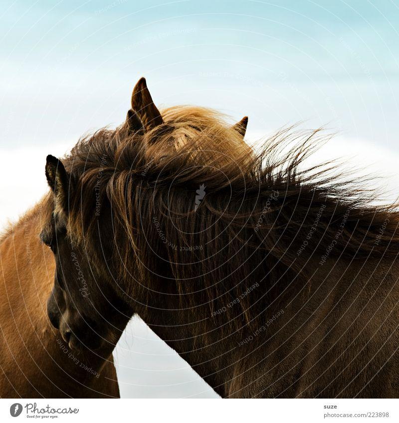 Zuneigung Tier Liebe Wind natürlich Tierpaar Pferd Ohr Neugier Fell Freundlichkeit Island tierisch krabbeln Ponys Nutztier Mähne