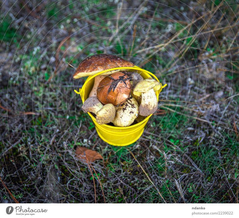 frische essbare wilde Pilze Vegetarische Ernährung Natur Landschaft Herbst Gras Moos Blatt Wald natürlich oben braun gelb grün Hintergrund Eimer fallen