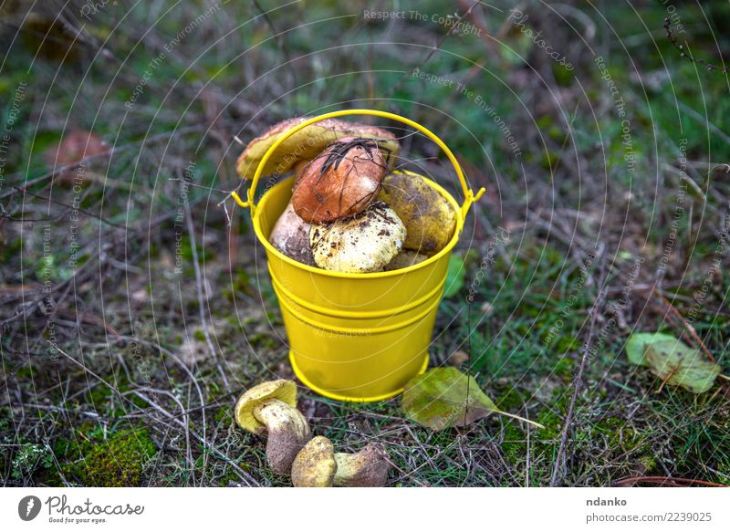 frische wilde Pilze Vegetarische Ernährung Natur Landschaft Herbst Gras Blatt Wald natürlich braun grün weiß Hintergrund Lebensmittel essbar Jahreszeiten