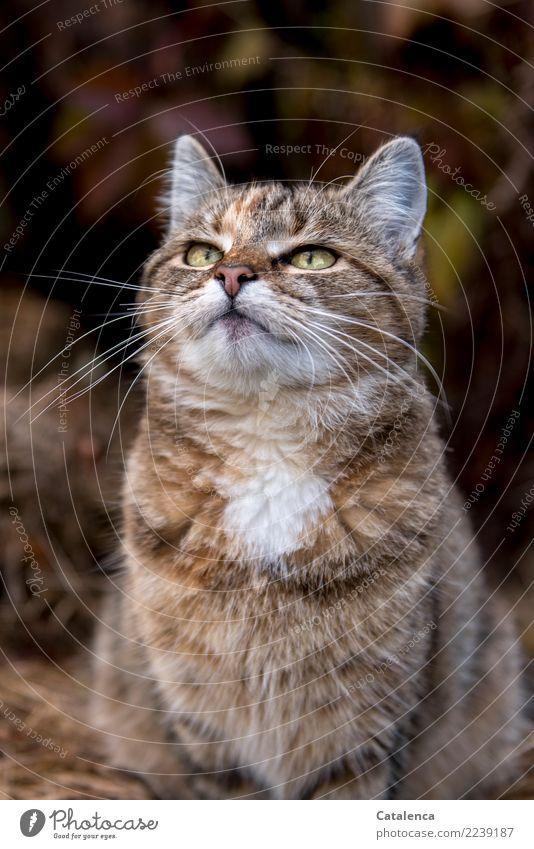 Wegsehen Natur Herbst Sträucher Blatt Garten Katze 1 Tier beobachten hocken schön klug braun gelb grün orange Stimmung Interesse Erwartung Katzenportrait