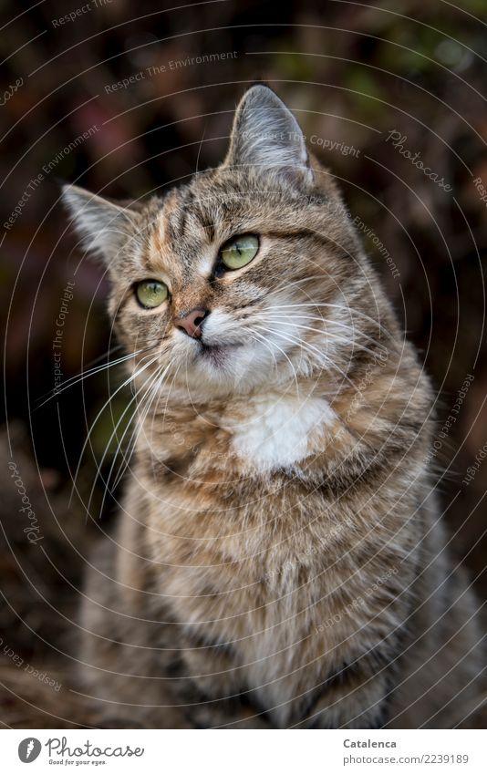 Gatubela Herbst Pflanze Blatt Wilder Wein Garten Tier Haustier Tiegerkatze 1 beobachten sitzen braun gelb orange weiß Vertrauen Freundschaft Gelassenheit Katze