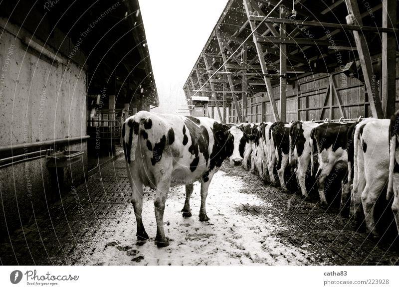 one is always special Winter Tier Schnee Schneefall einzigartig Tiergruppe Landwirtschaft Kuh Rind Stall Nutztier Schwarzweißfoto Milchkuh Kuhstall Milchwirtschaft Rinderhaltung