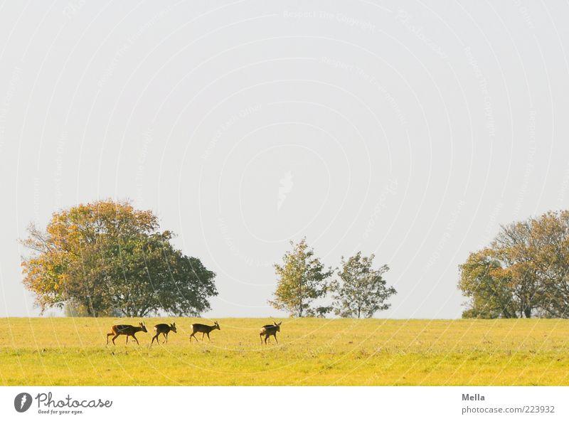 Treck Umwelt Natur Landschaft Pflanze Tier Baum Wiese Wildtier Reh 4 Tiergruppe Herde gehen frei Zusammensein natürlich Freiheit Idylle Farbfoto Außenaufnahme