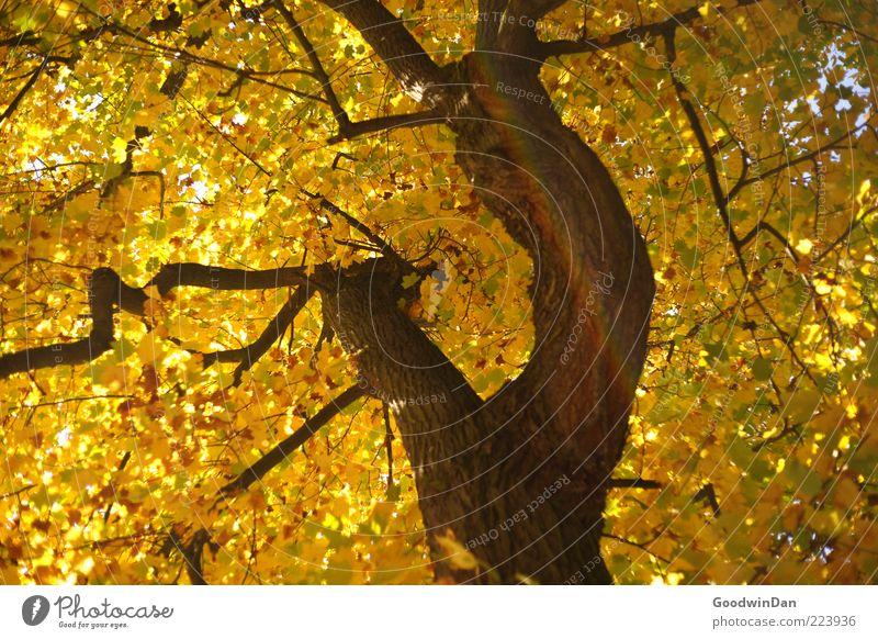 Herbst, wir missen dich! II Natur alt Baum Pflanze Umwelt authentisch Ast Baumstamm Geäst Herbstlaub Laubbaum herbstlich Herbstfärbung Blätterdach