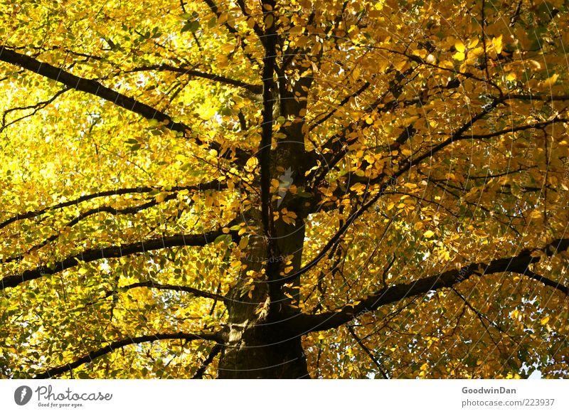 Herbst, wir missen dich! III Natur Baum schön Pflanze Herbst Umwelt natürlich Ast Geäst Herbstlaub Laubbaum herbstlich Licht Herbstfärbung Blätterdach