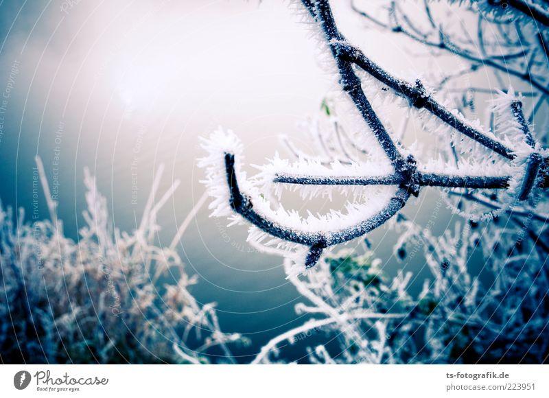 Frozen Landscape III Natur blau Pflanze Winter kalt Schnee Umwelt Eis Frost Sträucher Urelemente Ast gefroren bizarr Zweig Eiskristall