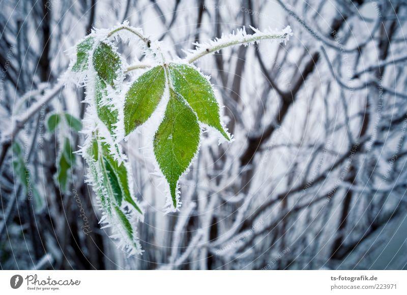Nachzügler Umwelt Natur Pflanze Urelemente Winter Klima Wetter Eis Frost Schnee Sträucher Blatt kalt grün schwarz weiß Raureif Zweig Eiskristall Farbfoto