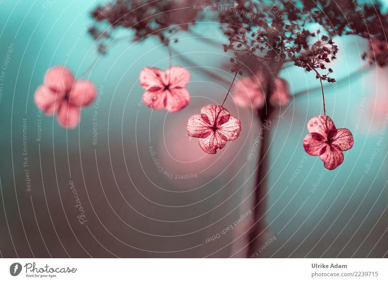 Verblühte Hortensien harmonisch Zufriedenheit Erholung ruhig Meditation Erntedankfest Trauerfeier Beerdigung Natur Pflanze Herbst Winter Blume Blüte