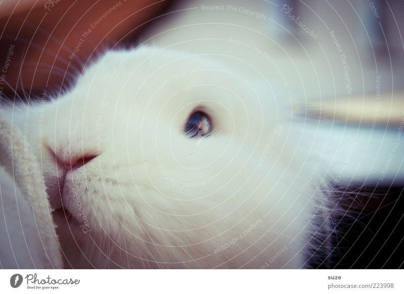 Keinohrhasi weiß Tier Auge niedlich weich Nase Vertrauen Fell Haustier Geruch Tiergesicht Hase & Kaninchen kuschlig Zauberei u. Magie Osterhase Tierliebe