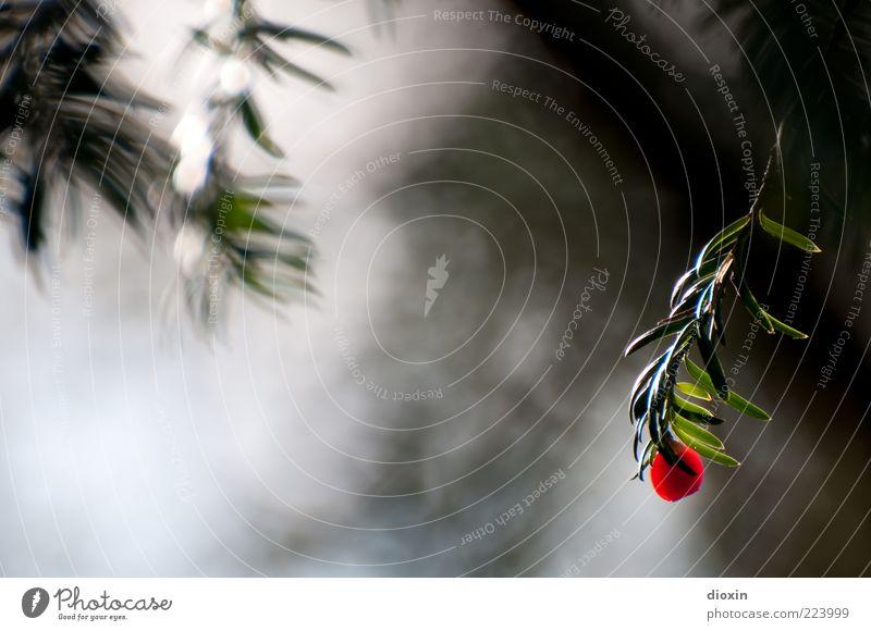 single Umwelt Natur Pflanze Baum Sträucher Blatt Zweig Ast Eibe Giftpflanze hängen grün rot Einsamkeit Außenaufnahme Detailaufnahme Textfreiraum links Tag Licht