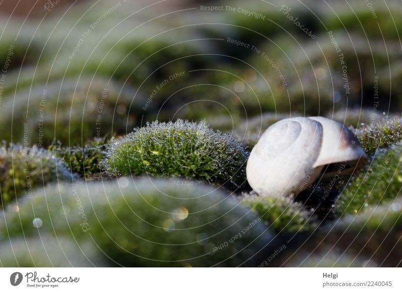 Häuschen im Grünen Umwelt Pflanze Tier Herbst Moos Wildpflanze Wald Schneckenhaus 1 glänzend liegen Wachstum kalt klein nass natürlich grün weiß ruhig