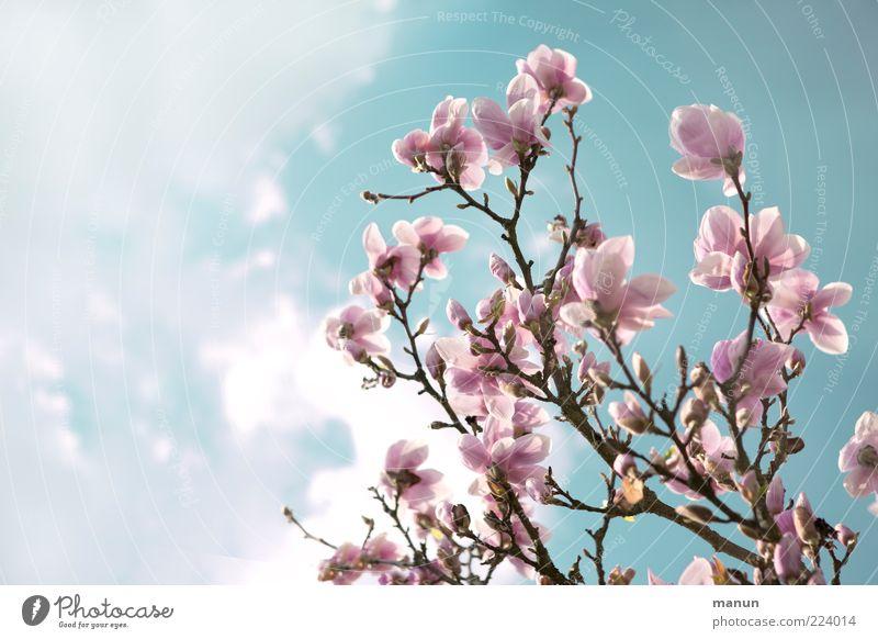 rosa Magnolie Himmel Natur Baum Blüte Frühling rosa Zweig Blütenblatt Frühlingsgefühle Umwelt Magnolienblüte