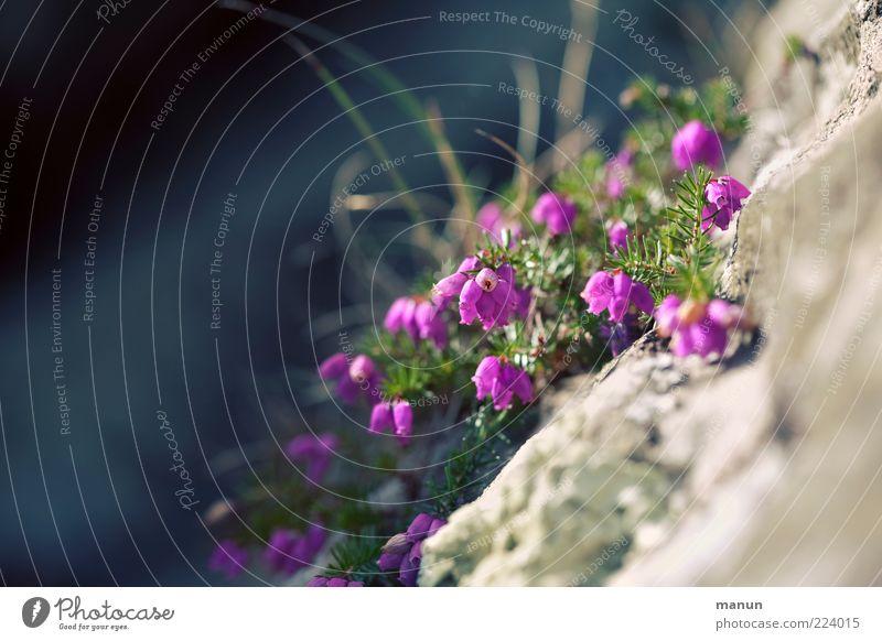 Bewuchs Natur Pflanze Blatt Blüte Heidekrautgewächse Stein steinig natürlich Farbfoto Außenaufnahme Tag violett Menschenleer