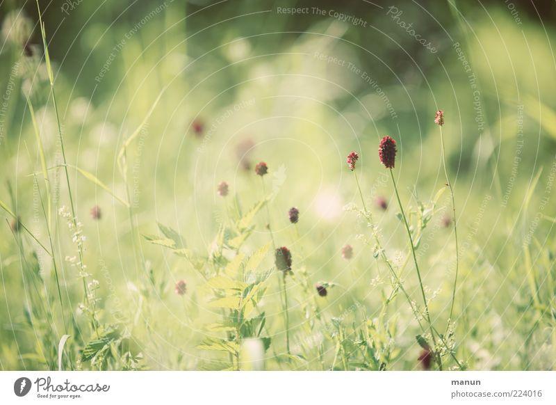 Sommergräser Natur grün Pflanze Gras natürlich Sträucher authentisch einfach sommerlich Wildpflanze