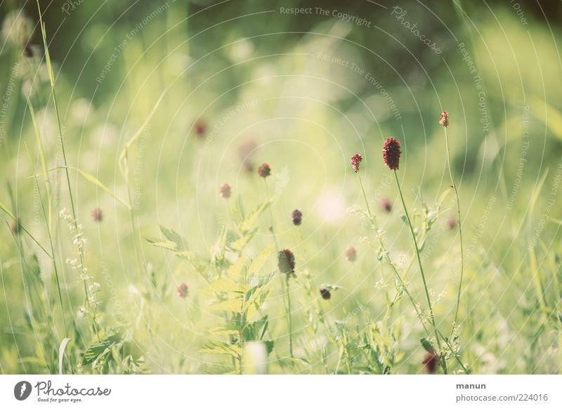 Sommergräser Natur Pflanze Gras Sträucher Wildpflanze sommerlich authentisch einfach Farbfoto Außenaufnahme Tag Sonnenlicht natürlich grün Unschärfe