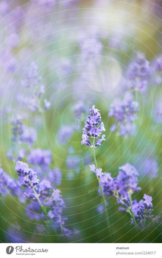 Lavendel Natur Sommer Pflanze Blume Sträucher Blüte natürlich Heilpflanzen Duft Farbfoto Außenaufnahme Tag Sonnenlicht Menschenleer Unschärfe