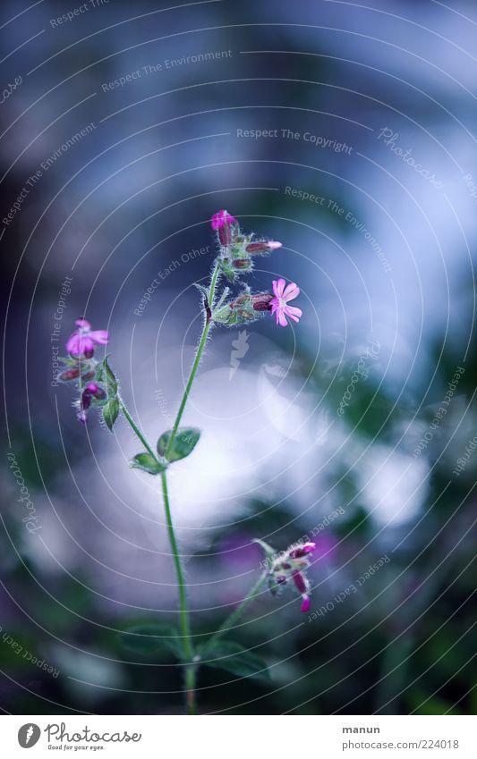 blaurosa Blümchen Natur Frühling Pflanze Blume Wildpflanze Waldblume Frühlingsblume Frühlingsgefühle Farbfoto Außenaufnahme Tag Menschenleer Unschärfe