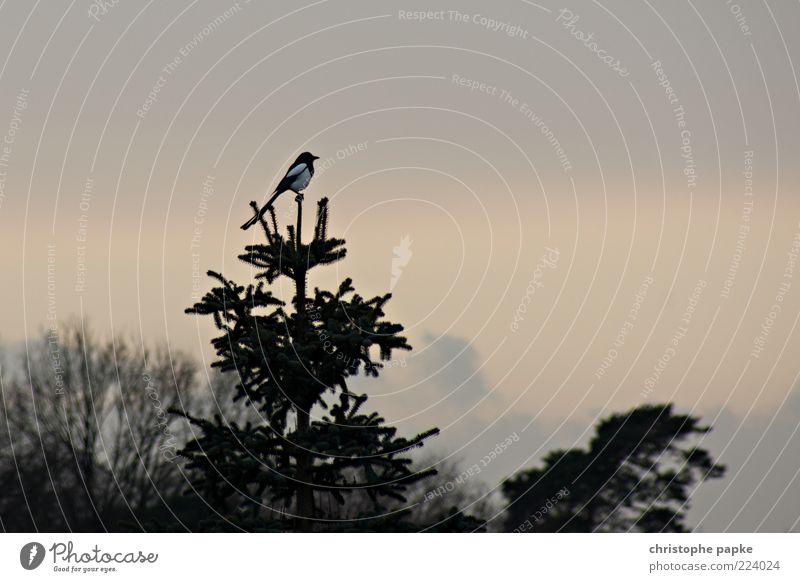 Tannen-Baum-Spitze Umwelt Pflanze Tier Vogel Elster 1 warten sitzen Baumkrone Außenaufnahme Menschenleer Textfreiraum rechts Textfreiraum oben Morgendämmerung