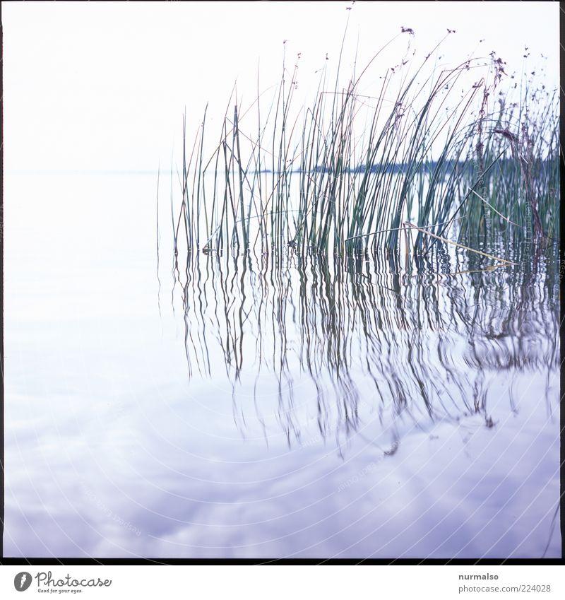 hauch Natur Wasser Pflanze Sommer ruhig Landschaft Umwelt Stimmung hell ästhetisch Wachstum natürlich Urelemente Sauberkeit Schilfrohr Bucht