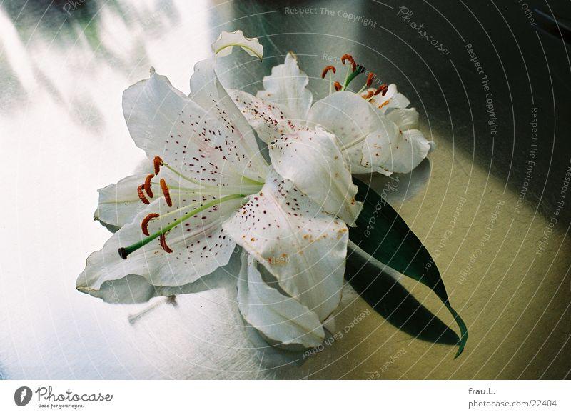 matte Lilie Blume Fenster Blüte Häusliches Leben Küche Lilien welk