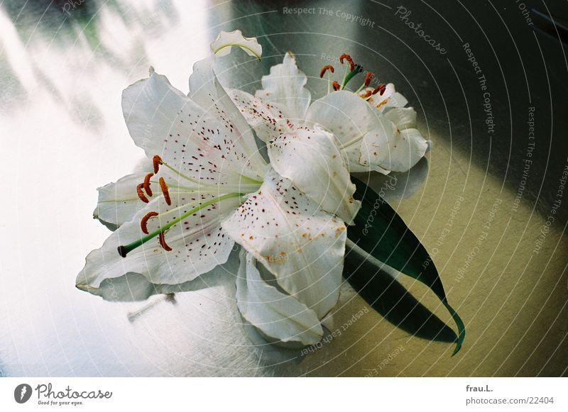 matte Lilie Blume Gegenlicht Lilien Blüte Küche Fenster Häusliches Leben stahlplatte arbeitsplatte Schatten welk
