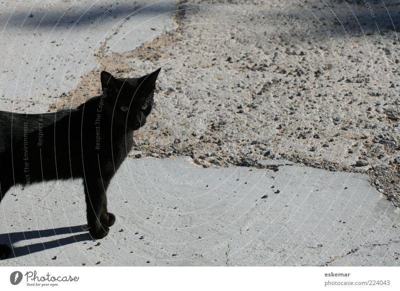 Einmal Schwarzer Kater Tier Haustier Katze 1 beobachten Blick stehen warten authentisch schwarz Hauskatze Außenaufnahme Menschenleer Textfreiraum rechts
