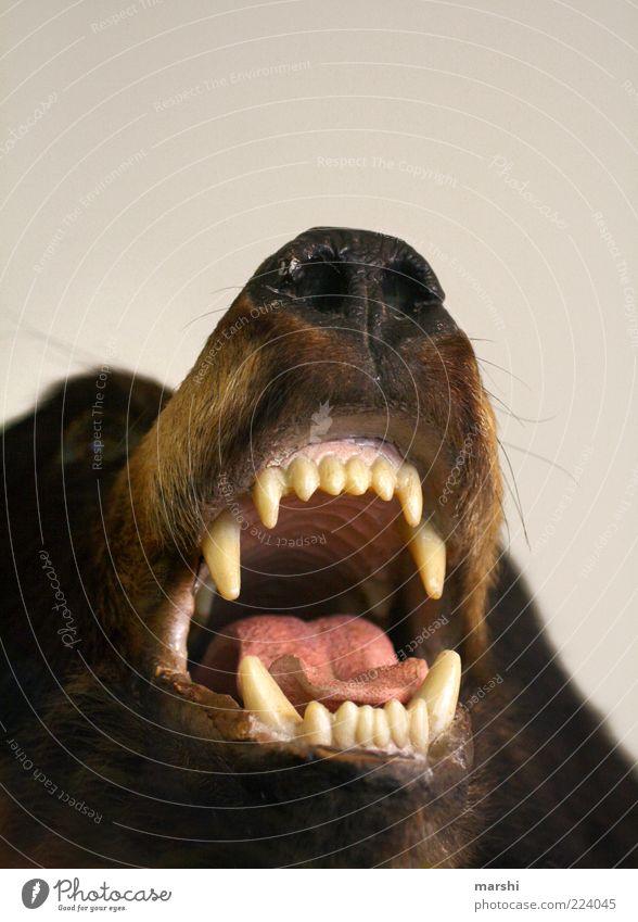 s Maul aufreißen Tier Tod braun Freizeit & Hobby gefährlich bedrohlich Wildtier Zähne Dekoration & Verzierung Tiergesicht Gebiss Pferd Fell Jagd Zunge