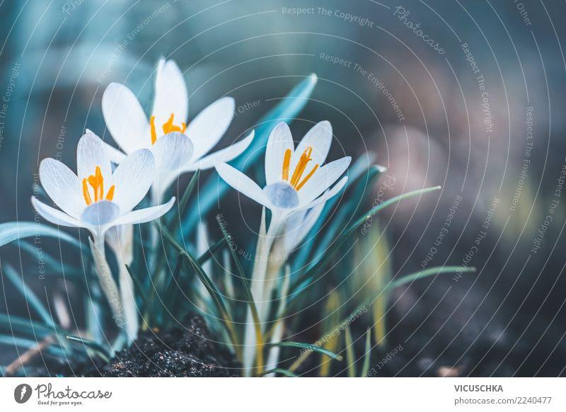 Frühjahr Natur mit Krokusse Lifestyle Design Garten Pflanze Frühling Blume Blatt Blüte Park Hintergrundbild Frühlingsgefühle Frühlingsblume Frühlingskrokus