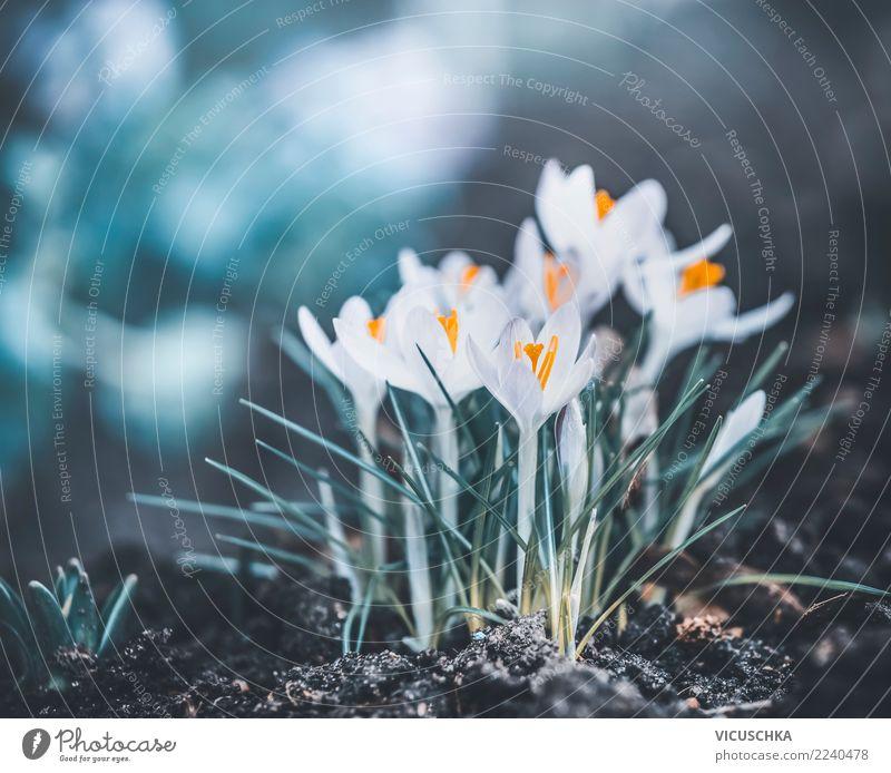 Frühjahrnatur mit ersten Krokusse Lifestyle Design Garten Natur Pflanze Frühling Blume Blatt Blüte Park Wiese Wald Außenaufnahme Farbfoto Nahaufnahme