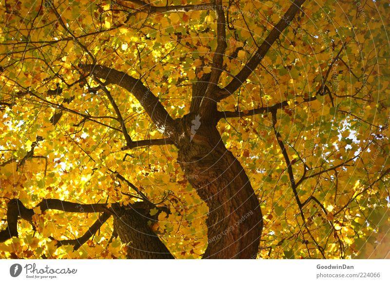 Herbst, wir missen dich! IV Natur alt Baum schön Gefühle Umwelt Stimmung Gold groß hoch natürlich authentisch einfach viele Baumstamm