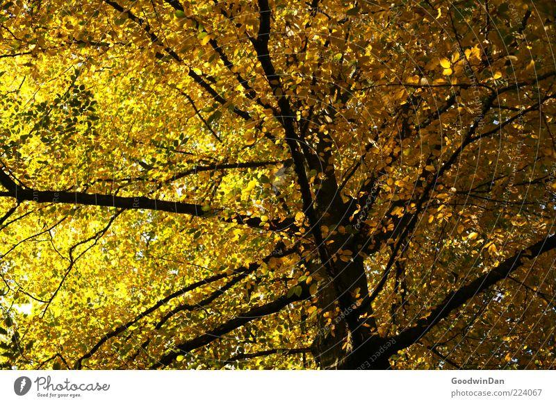 Herbst, wir missen dich! V Natur Baum schön Pflanze Gefühle Umwelt Stimmung gold groß hoch natürlich authentisch einfach viele Baumstamm