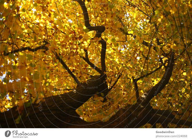 Herbst, wir missen dich! VI Natur alt Baum schön Gefühle Umwelt Stimmung Wetter gold groß hoch authentisch einfach viele Baumstamm
