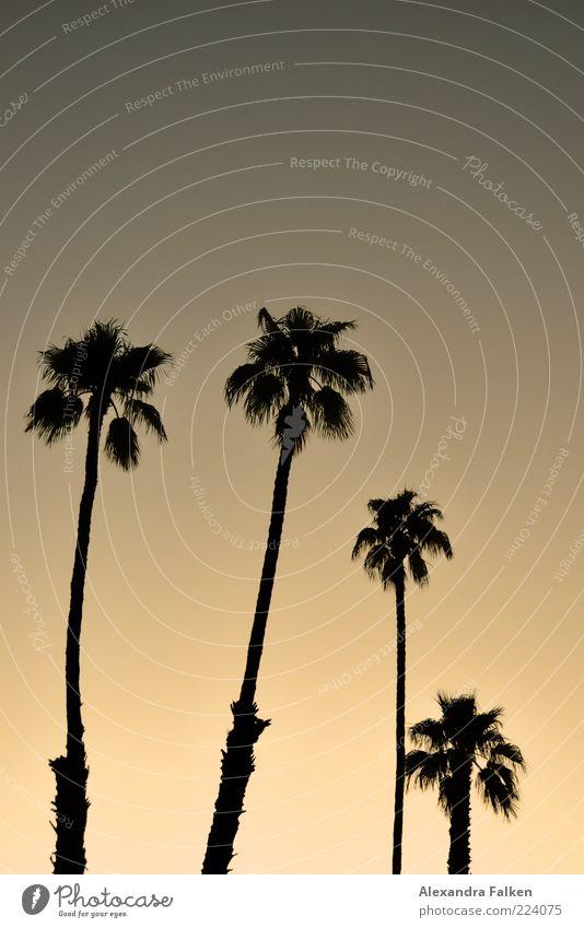 Staubmop Sammlung Ferne Freiheit Sommer Umwelt Natur Pflanze Sonnenaufgang Sonnenuntergang Klima Schönes Wetter Palme träumen ästhetisch exotisch Stimmung