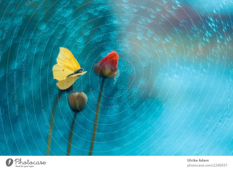 Fliegender Zitronenfalter elegant Design Leben harmonisch ruhig Meditation Dekoration & Verzierung Tapete Natur Pflanze Tier Sommer Herbst Blume Blüte Mohn