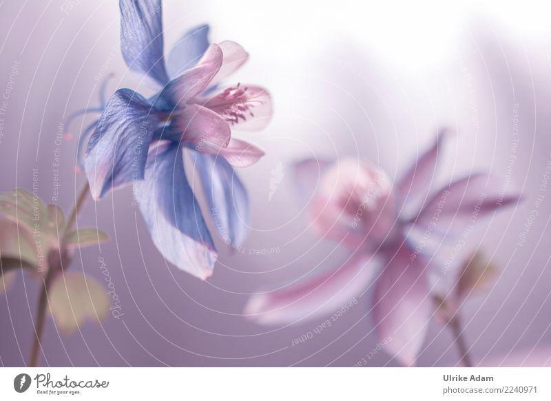 Zarte Akelei Natur Pflanze blau Sommer schön Blume ruhig Herbst Blüte Frühling Garten rosa leuchten Park träumen Dekoration & Verzierung