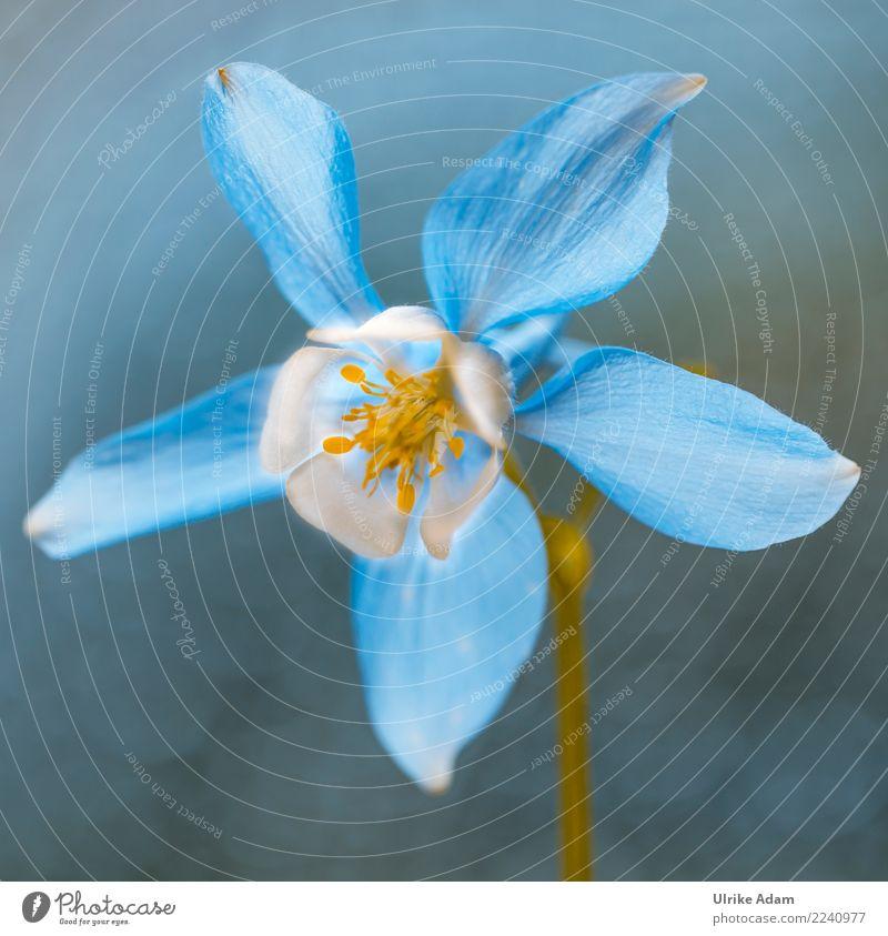 Akelei Natur Pflanze blau Sommer schön Blume Erholung ruhig Blüte Frühling Garten Zufriedenheit leuchten Park Dekoration & Verzierung elegant