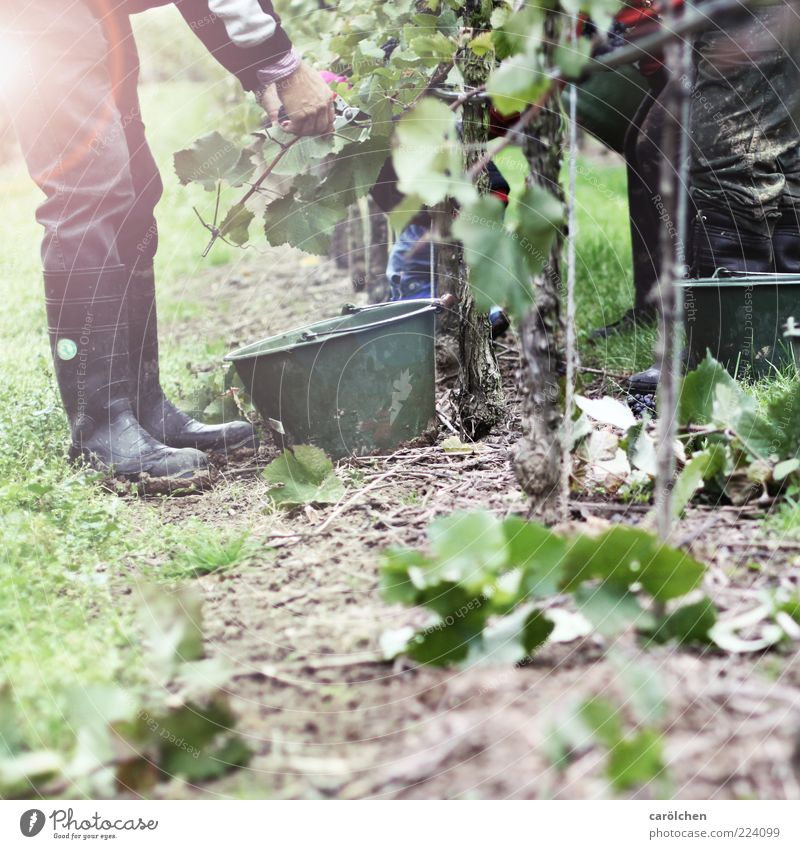 Handarbeit Mensch grün Blatt Arbeit & Erwerbstätigkeit Gras Umwelt Wein Ernte Ackerbau Frucht Weintrauben Eimer Weinberg Gummistiefel Weinlese Blendenfleck