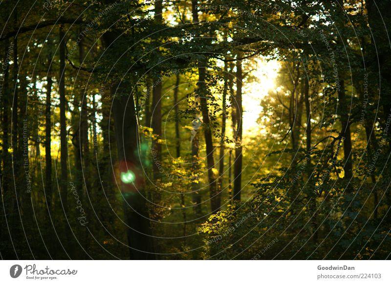 Zauberwald Natur Baum schön Pflanze Blatt Wald Gefühle Umwelt Stimmung Wetter groß authentisch viele Baumstamm Schönes Wetter Sonnenuntergang
