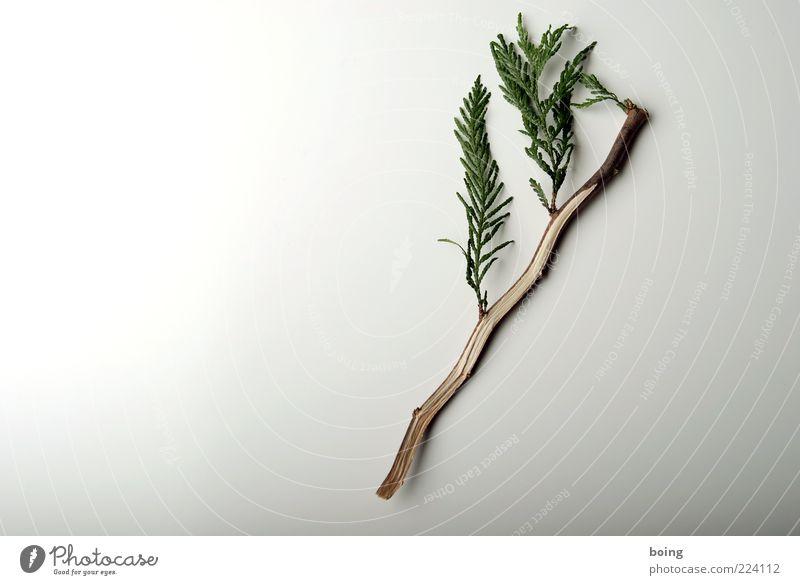 Weihnachtsbaum min einrichten Floristik Pflanze Sträucher klein Wachstum Lebensbaum Scheinzypresse Farbfoto Nahaufnahme Detailaufnahme Zweig