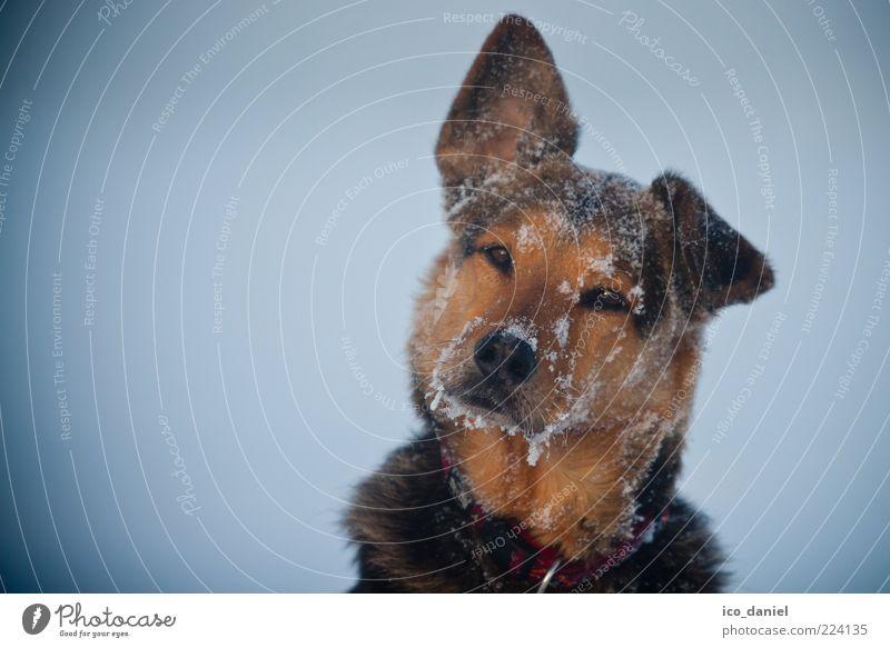 Eishund Haushund Hundeschnauze Tiergesicht Tierporträt Hängeohr Freisteller Vor hellem Hintergrund Vignettierung kalt Winter Schnee Frost Blick in die Kamera