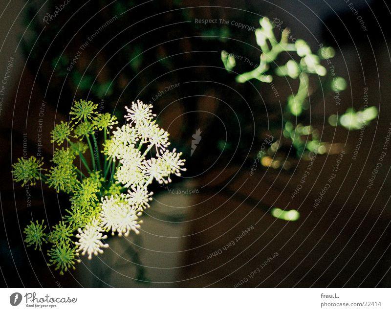 Zier-Dill Blume Licht Vase Sonnenlicht Blüte Pflanze filigran zart Blumenstrauß Häusliches Leben brombeer Schatten Frucht Natur Heilpflanzen