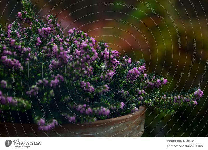 Winterheide low key Dekoration & Verzierung Natur Pflanze Herbst Sträucher Blatt Blüte Wildpflanze Garten ästhetisch dunkel einfach schön braun grün violett