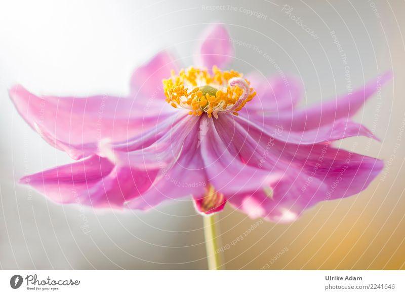Anemone Wellness Leben harmonisch Wohlgefühl Zufriedenheit Erholung ruhig Meditation Spa Feste & Feiern Natur Pflanze Herbst Blume Blüte Anemonen Herbstanemone