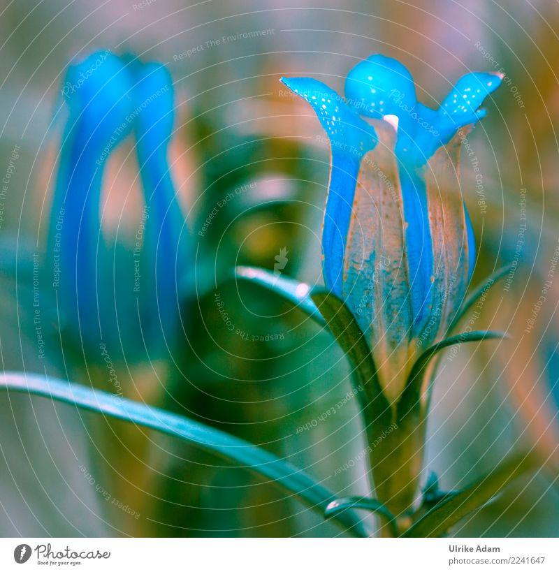 Schwalbenwurz - Enzian (Gentiana asclepiadea) Natur Pflanze Sommer Herbst Blume Blüte Topfpflanze Enziangewächse Blütenkelch Garten Park Blühend außergewöhnlich