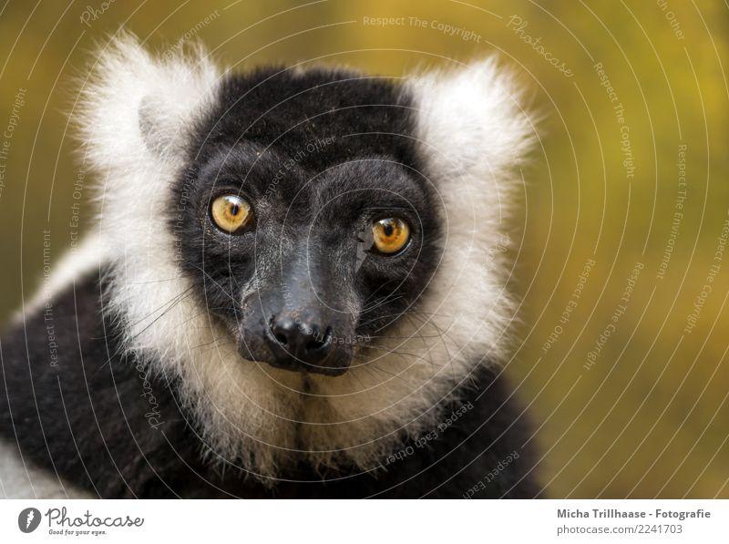 Durchdringender Blick Natur weiß Sonne Tier schwarz gelb Auge orange leuchten glänzend Wildtier Schönes Wetter beobachten Neugier Nase Ohr
