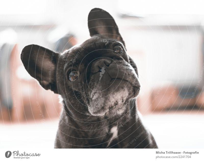 Erwartungsvoll Tier Haustier Hund Tiergesicht Fell Französische Bulldogge Auge Ohr Nase Maul 1 beobachten glänzend hören leuchten Blick Spielen Freundlichkeit