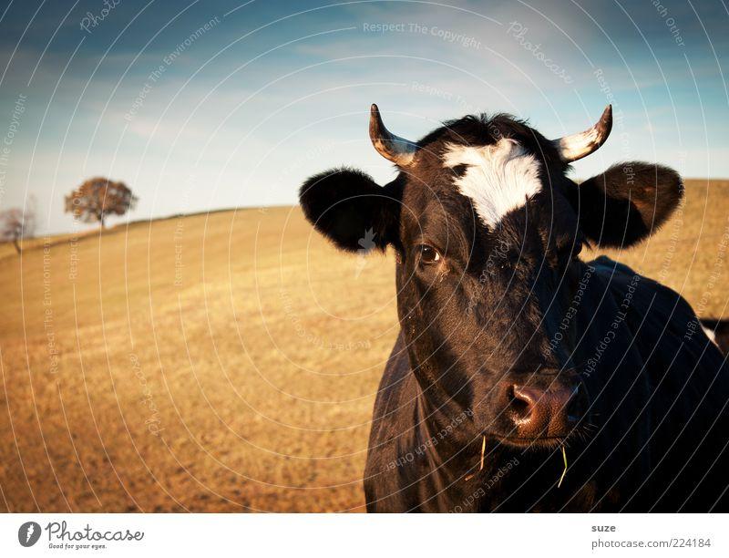 Kuh Natur Baum Ferne Tier Feld natürlich Ohr Tiergesicht Weide Horn Schönes Wetter Rind Bioprodukte Biologische Landwirtschaft Lebensmittel