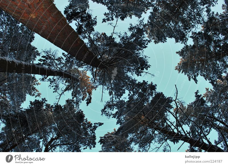 tanner Himmel Natur Baum Pflanze Winter Wald Schnee Holz Umwelt Wetter Eis hoch Perspektive Klima Wachstum Frost