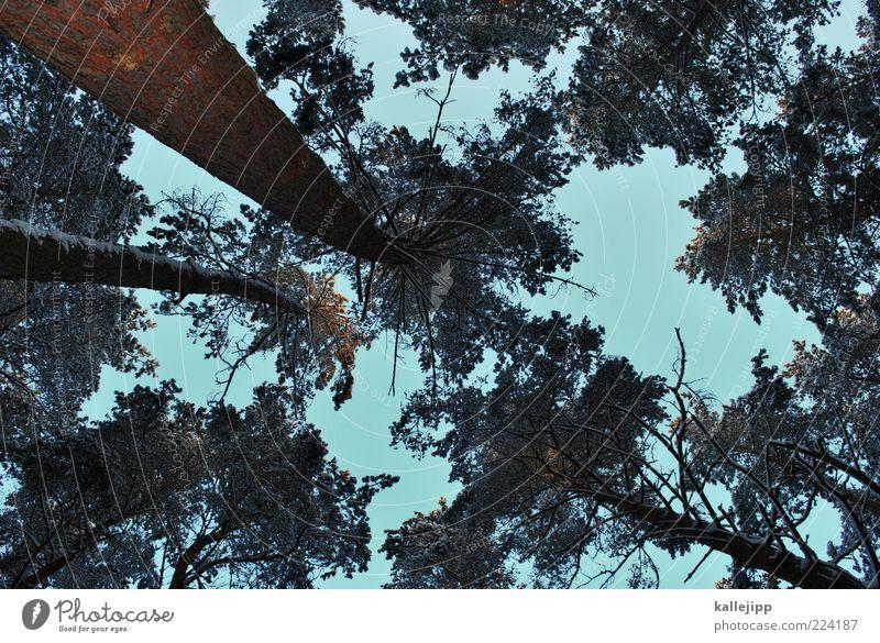 tanner Umwelt Natur Pflanze Himmel Wolkenloser Himmel Sonnenlicht Winter Klima Wetter Eis Frost Schnee Baum Wald Wachstum nachhaltig Perspektive Holz Kiefer
